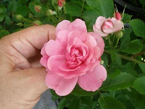О розе джон дэвис (john davis): описание и характеристики сорта канадской розы