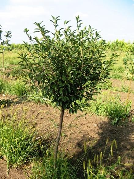 О посадке вишни на урале весной, как посадить в открытый грунт, уход