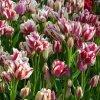 О посадке и уходе за тюльпанами в открытом грунте, как сажать в сибири, на урале