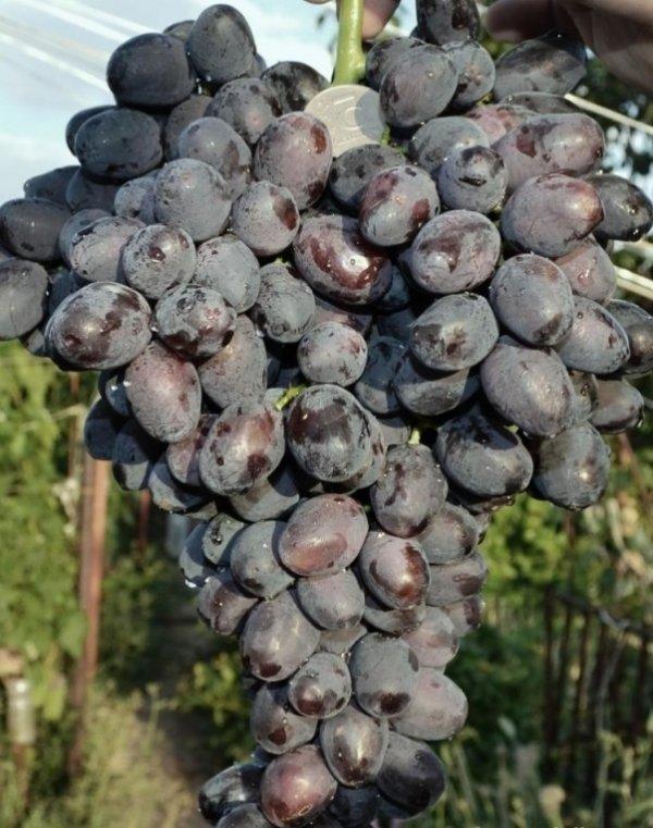 О винограде забава: описание и характеристики сорта, посадка и уход