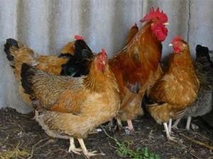 О лечении пастереллеза у кур: симптомы, что делать (советы птицеводов)