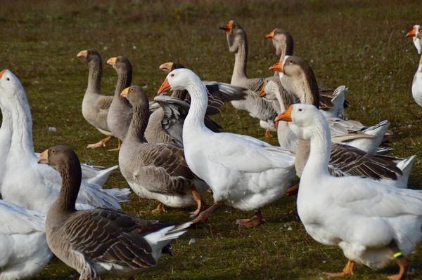 О лучших породах гусей для разведения дома: описание и характеристики