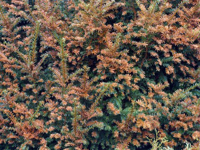 О можжевельнике скальном мунглоу: описание, как выглядит, характеристики
