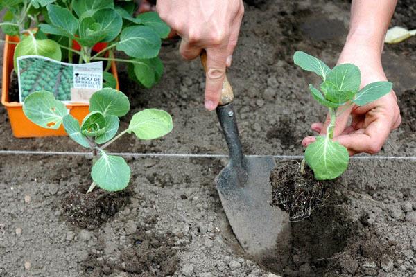 О посадке ранней капусты: когда сажать, правильное расстояние высадки