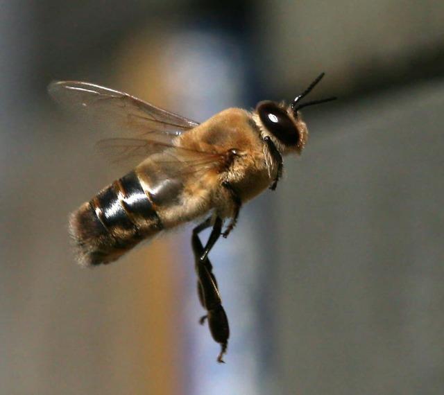 О жизни пчел: где живут, кусаются ли, как находят дорогу домой и чем питаются