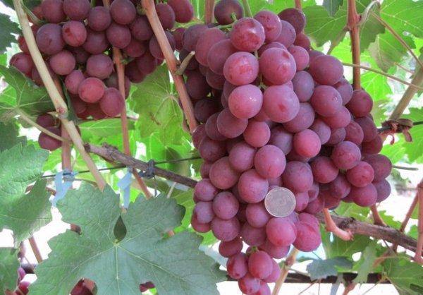 О винограде гурман: описание и характеристики сорта, посадка и уход