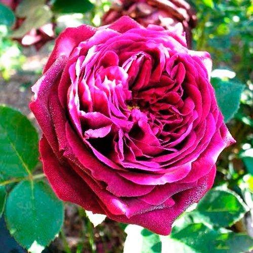 О розе black prince: описание и характеристики, выращивание сорта кустовой розы