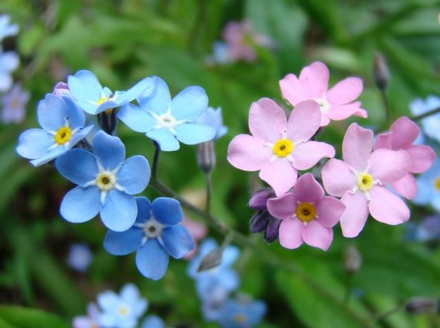 О многолетнем цветке незабудка: как выглядит (описание), уход, выращивание