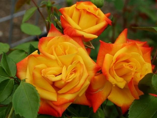 О розе samba: описание и характеристики сорта, выращивание розы флорибунда