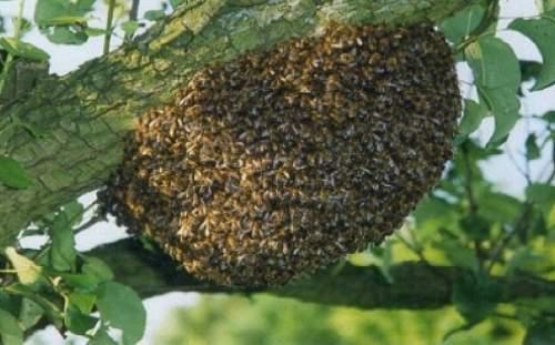 О рое пчел: как предотвратить роение в августе, почему роятся пчелы, причины
