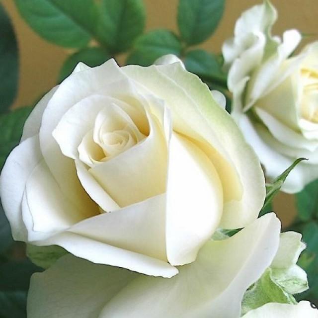 О розе ferdinand pichard: описание и характеристики сорта парковой плетистой розы