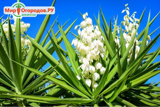 О посадке и уходе за юккой в саду и в домашних условиях, выращивание цветка