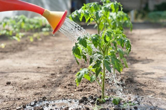Не завязываются помидоры в теплице, что делать если опадает завязь томатов