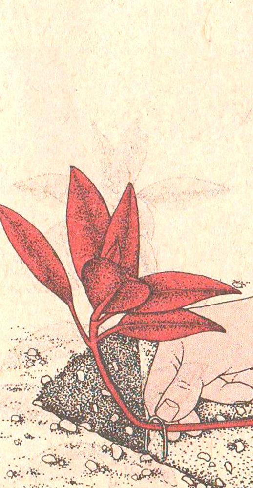 О размножении роз в домашних условиях черенкованием и методом бурито