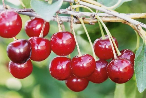 О лучших сортах вишни для урала: какой выбрать, посадить, вырастить