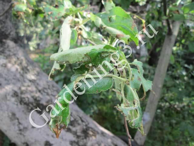 О вредителях вишни и борьбе с ними: гусеница, долгоносик, листовертка