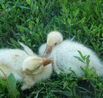 О кормлении гусей в домашних условиях: виды кормов, какую траву можно давать