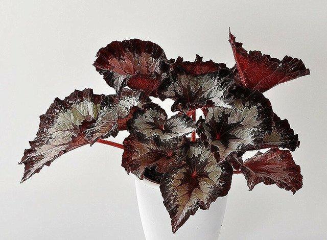 О размножении бегоний в домашних условиях черенками и листом, выращивание