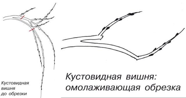 О вишне антрацитовой: описание и характеристики сорта, посадка и уход