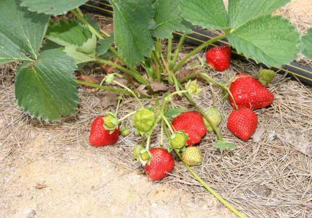 О клубнике остара: описание и характеристики сорта, посадка, уход, выращивание