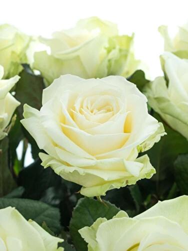 О розе аваланж (avalanche): описание и характеристики сорта чайно гибридной розы