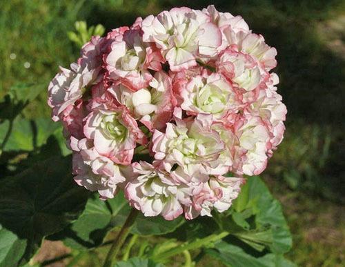 О пеларгонии pac viva rosita (пак вива розита): описание сорта, выращивание