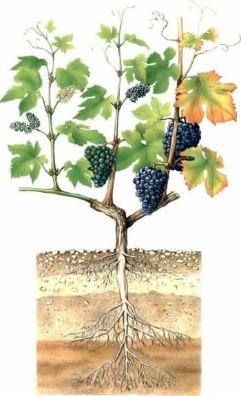 О винограде оригинал: описание и характеристики сорта, посадка и уход