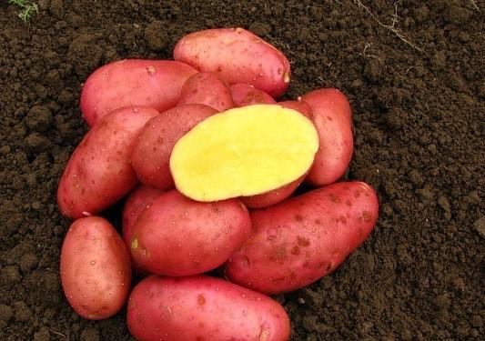 О картофеле ред фэнтези: описание сорта, характеристики, агротехника