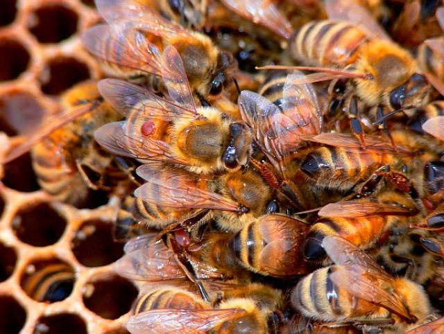 О лекарствах для пчел: аква фло, экопол, дилабик, тимол инструкция по применению