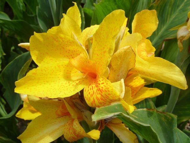 О выращивании в саду цветов канн: правила посадки и ухода в подмосковье и сибири