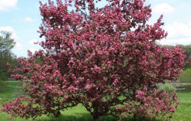О сливе растопыренная писсарди (декоративная краснолистная, пурпурная): описание