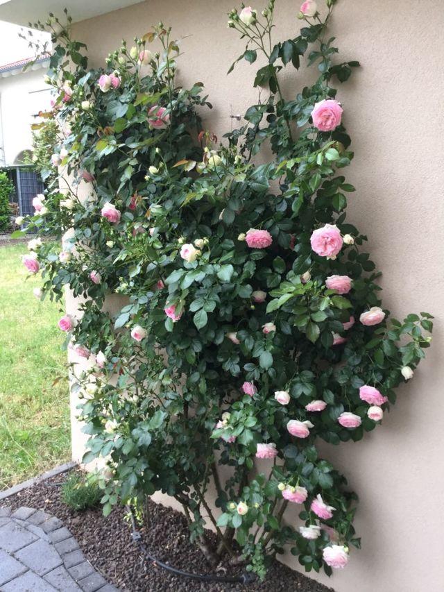 О розе mimi eden: описание и характеристики сорта, уход и выращивание