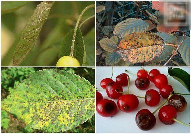 О войлочной вишне, болезнях и лечении: борьба с вредителями на листе