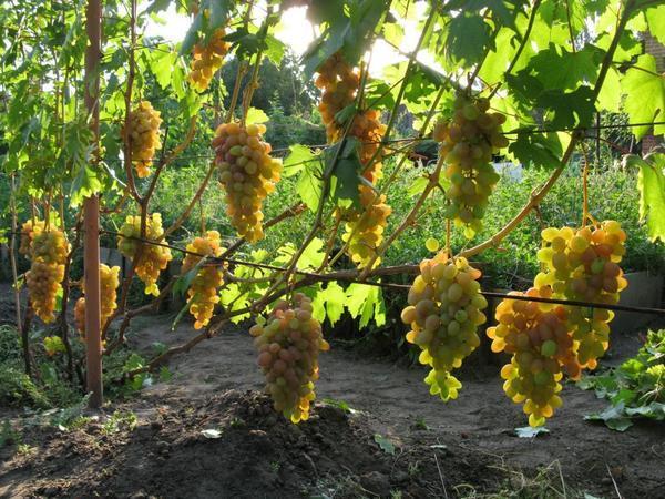О розе румба: описание и характеристики сорта, уход и выращивание