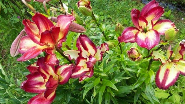 О древовидной лилии: посадка, уход и выращивание в открытом грунте