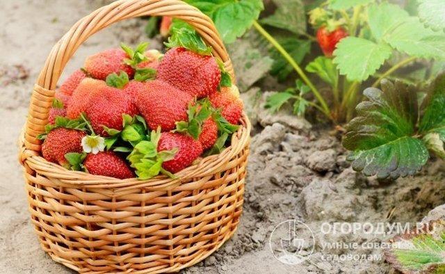 О клубнике вима ксима: описание сорта, агротехника посадки и выращивания