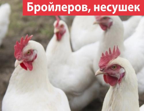 О корме пурина для бройлеров, кур несушек, цыплят (состав комбикорма, дозировка)