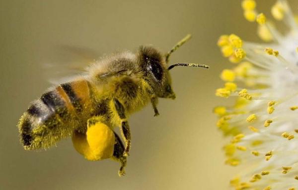 О пчелиной пыльце: цветочная пыльца, пчелиная обножка, как хранить пыльцу