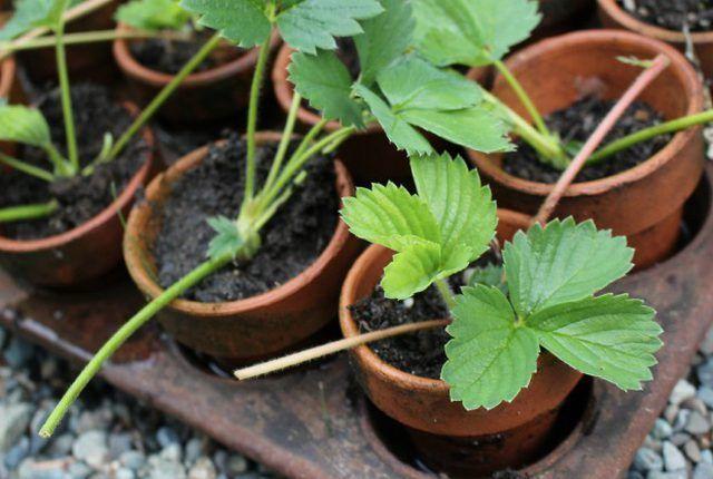 О пересадке клубники: когда можно пересаживать весной на новое место