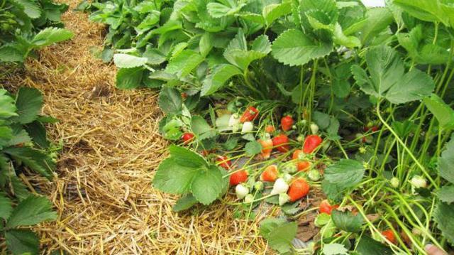 О землянике альба: описание и характеристики сорта, посадка, уход, выращивание