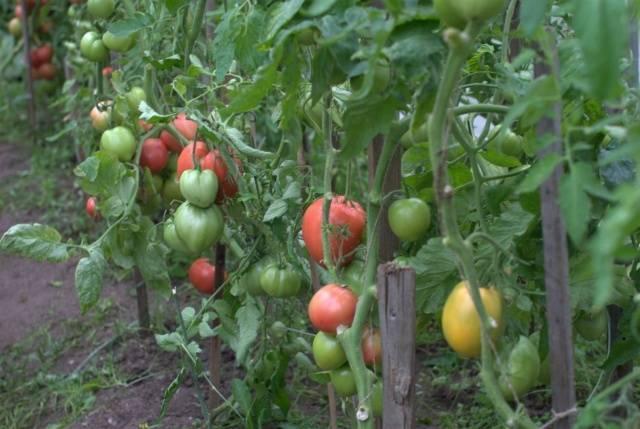 Любимый праздник: описание сорта томата, характеристики помидоров, посев