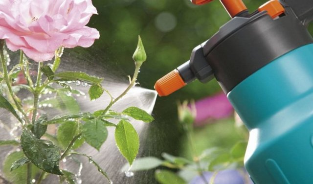 О ржавчине на розах: почему ржавеют листья, чем их обрабатывать, как лечить