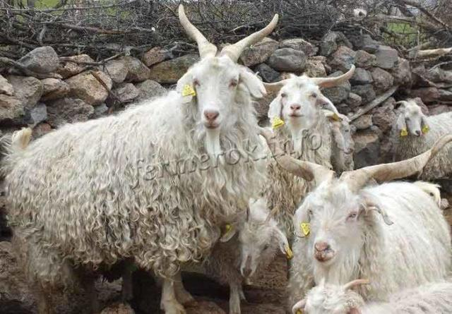 О породах коз: какие бывают, описание, общие характеристики, мясные и пуховые