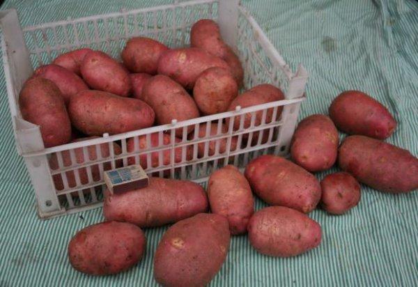 О картофеле ильинский: описание семенного сорта, характеристики, агротехника