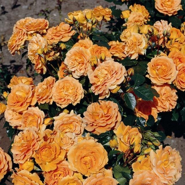 О розе goldelse: описание и характеристики сорта, уход и выращивание