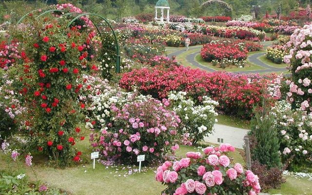О розовых розах: описание сортов, уход и выращивание почвопокровной розовой розы