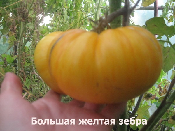 О желтых томатах: описание сорта, характеристики помидоров, посев
