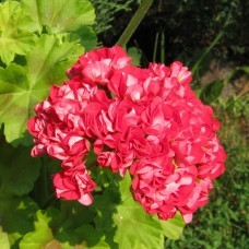 О пеларгонии пинк рамблер (pink rambler): описание и характеристики сорта, уход