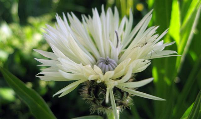 О васильке многолетнем: описание (как выглядит, значение цветка), выращивание