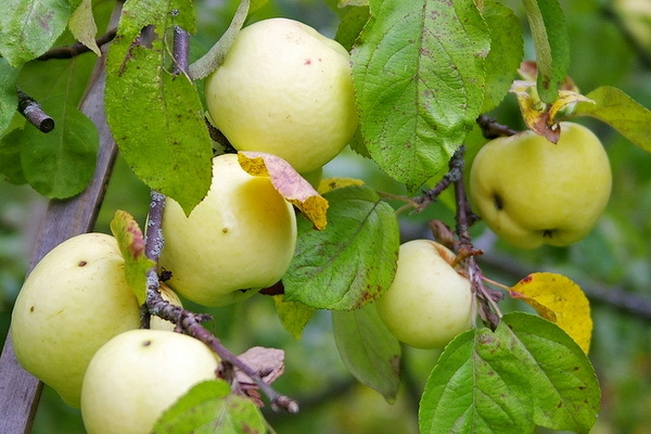 О зимостойких сортах яблонь: самые морозоустойчивые и неприхотливые яблони